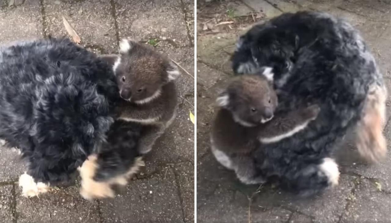 Watch: Koala joey hitches ride on pet dog after mistaking it for its mum | Newshub