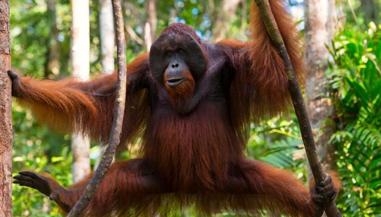 Multiple Ape Species Facing Extinction As Humans Wipe Out